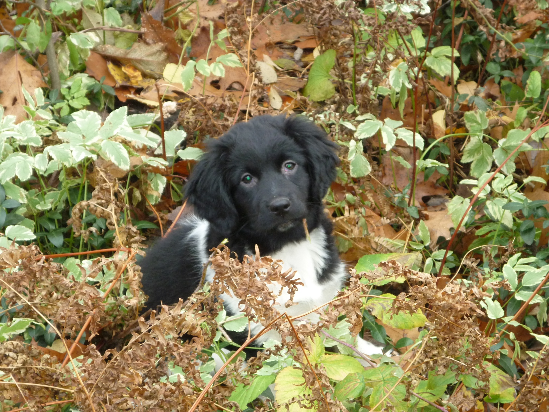 Stabyhoun Puppy - photo#14